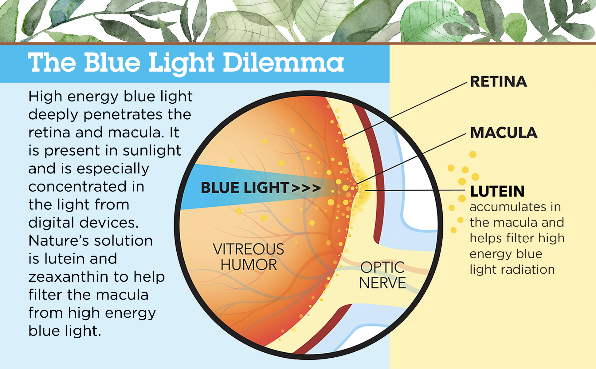 High energy blue light deeply penetrates the retina and macula.  It is present in sunlight and is especially concentrated in the light from digital devices. Nature's solution is lutein and zeaxanthin.